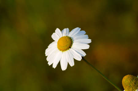 artic circle: beautiful oxeye daisy wildflower in the late autumn sun Stock Photo