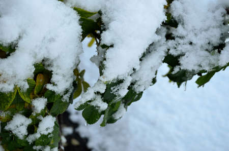 artic circle: New snow and ice covers a vivid green bush with leafves in the middle of october in the Artic circle