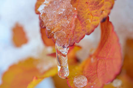 artic circle: Icicle and snow hanging from a beautiful vivid orange and red leaf in the middle of october in the artic circle