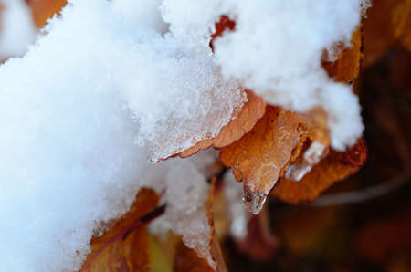 sub zero: Icicle and snow hanging from a beautiful vivid orange and red leaf in the middle of october in the artic circle
