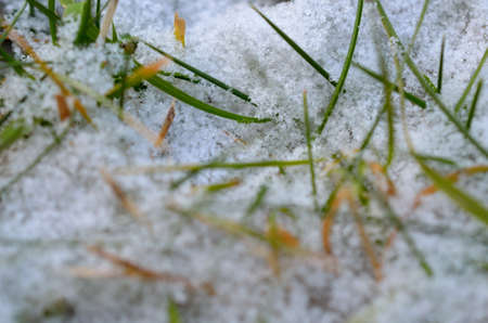 artic circle: Vivid green grass trying to reach over the cold snow cover in late october in the artic circle, Macro