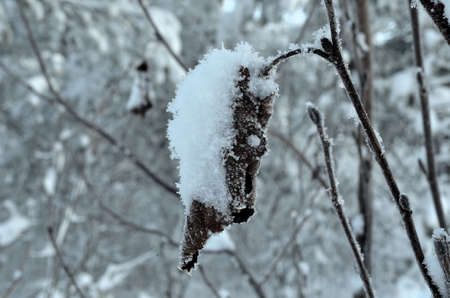 artic circle: snow covered leaf in winter forest