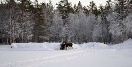 moose mother and two calfs feeding on hay bale in extreme cold snowy winter photo