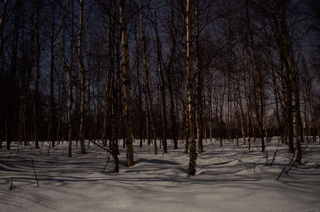 birch tree forest in deep snow at night photo