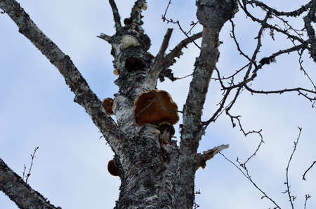 big fungus on old tree in nature photo