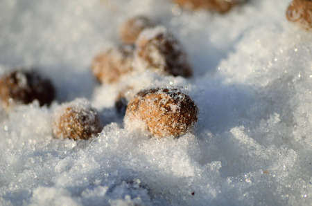 artic circle: moose poop on snow macro photo Stock Photo