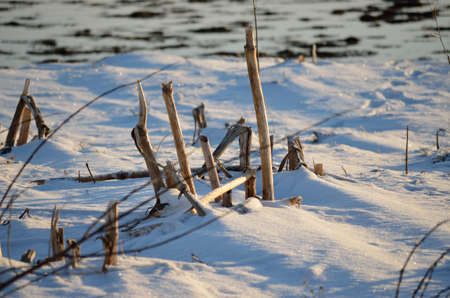 straw twig: twigs in snow on sea shore