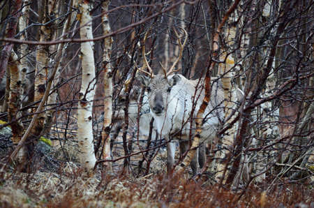 beautiful arctic raindeer in forest close up photo