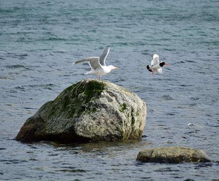eye catcher: seagull chasing away an oystercatcher bird from a sea rock