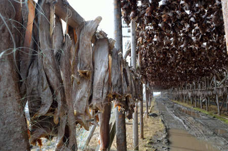 fishery products: stockfish structure full of cod and other fish hanging to dry in northern norway in summer