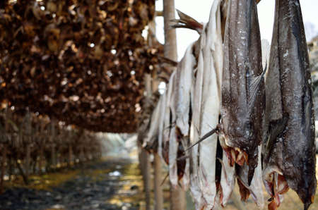 stockfish: big wooden stockfish structure full of cod and other fish hanging to dry in summer in northern norway Stock Photo
