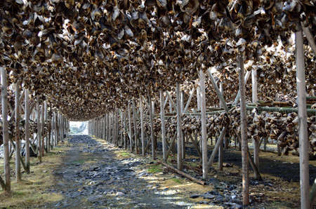 big wooden stockfish structure full of cod and other fish hanging to dry in summer in northern norway photo