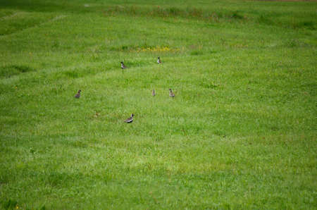golden plover birds in summer photo