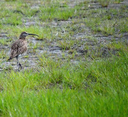 vigilant: vigilant eurasian curlew bird parent on grass Stock Photo