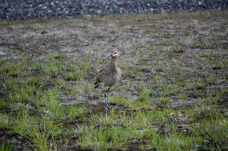 daddy long legs: vigilant eurasian curlew bird parent in the northern summertime