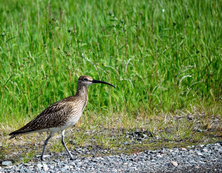 daddy long legs: eurasian curlew bird parent looks out for her chickens in the green field