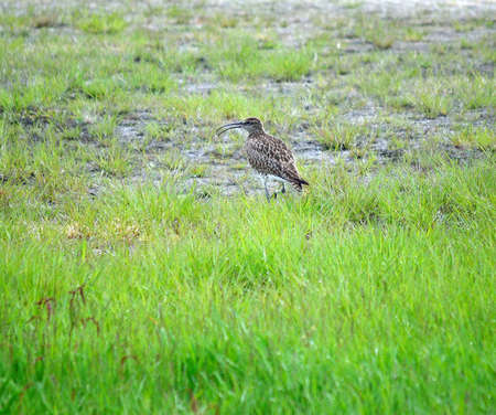 eurasian curlew bird parent is vigilant for its chickens