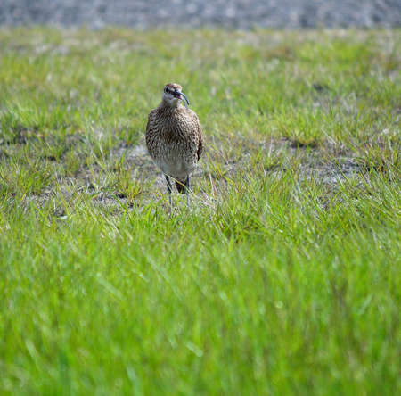 eurasian curlew bird in summer