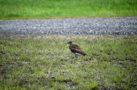 daddy long legs: beautiful singing eurasian curlew bird in summer Stock Photo