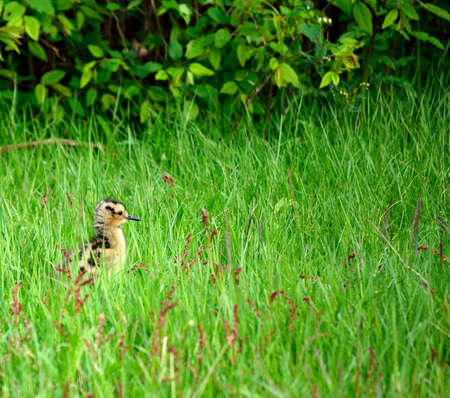 daddy long legs: small eurasian curlew chicken in tall green grass in summer Stock Photo
