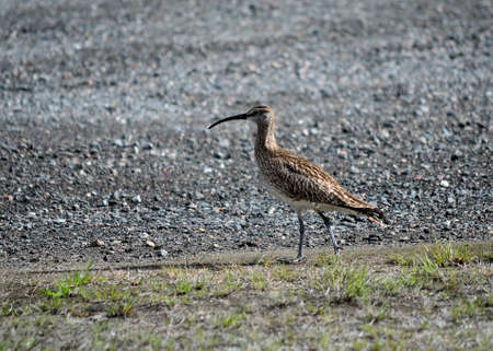 daddy long legs: eurasian curlew bird parent keeps a close watch on her chickens