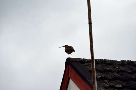 daddy long legs: eurasian curlew bird parent keep lookout from house top Stock Photo