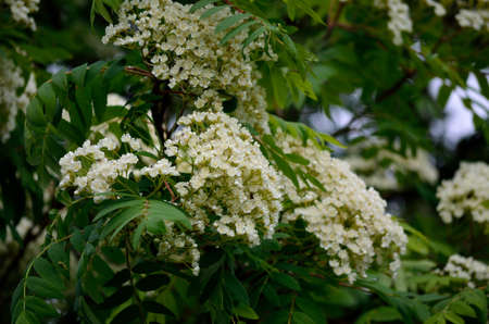 artic circle: beautiful white blossoms on a blossoming rowan tree in spring