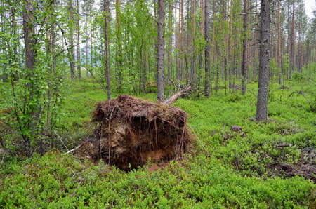 toppled: old toppled tree and root