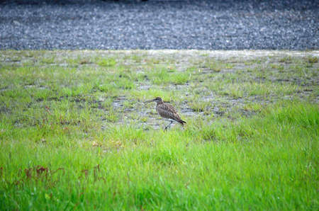 vigilant: eurasian curlew bird parent is vigilant for its chickens