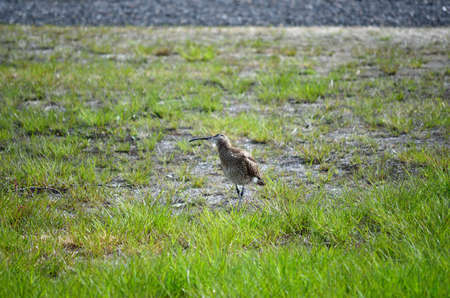 daddy long legs: eurasian curlew parent calls for her chicks
