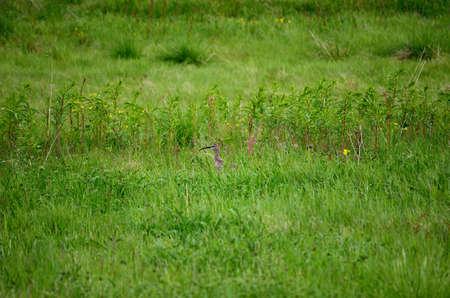 daddy long legs: eurasian curlew bird sitting on a grassy green field in summer Stock Photo
