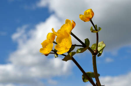 buttercup flowers with blue sky background in summer photo