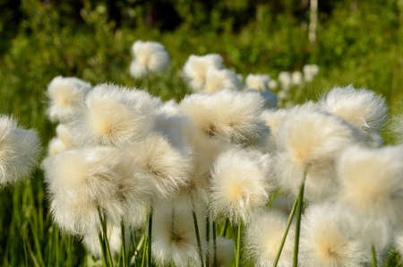 gust: cottongrass in wind gust