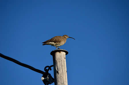 youngs: eurasian curlew bird sitting on a pole in summer watching her young`s Stock Photo