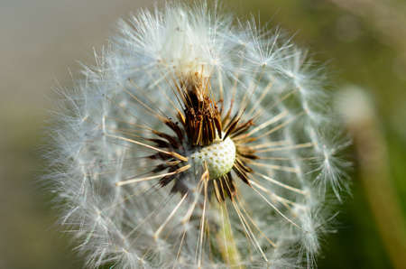 common dandelion flower after blooming spreading seeds with the wind in summer macro photo photo