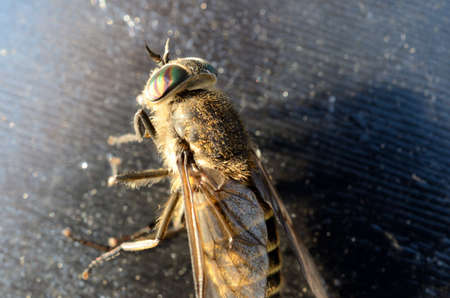gad: horse-fly,gad fly,clegg,klegg caught on fly paper under extreme invasion in summer macro photo