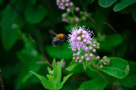 bumblebee flying from flower to flower macro photo photo