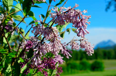 purple common lilac flower in summer with blue vibrant sky background macro photo