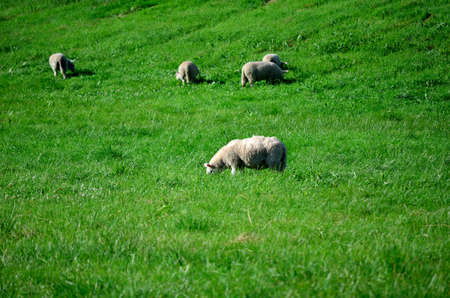 sheep grazing on vibrant green pasture in summer sunlight photo