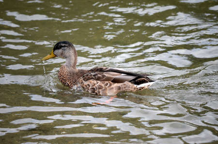 speculum: vibrant mallard duck in autumn pond water looking for food