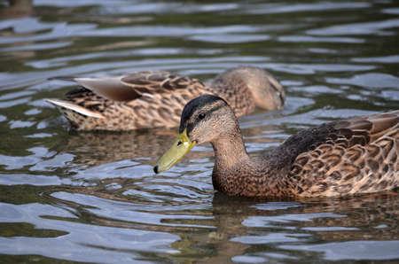 speculum: vibrant mallard duck Stock Photo