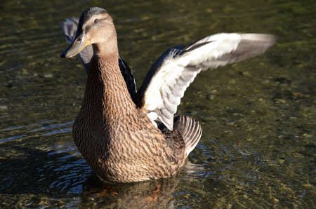 speculum: mallard duck flapping its wings in pond Stock Photo