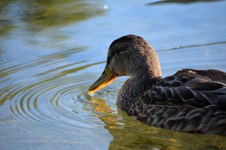 speculum: mallard duck feeding in pond