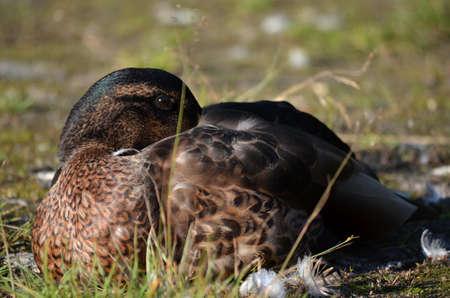 mallard duck tries to sleep by pond shore photo