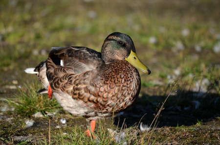 mallard duck in autumn sunshine photo