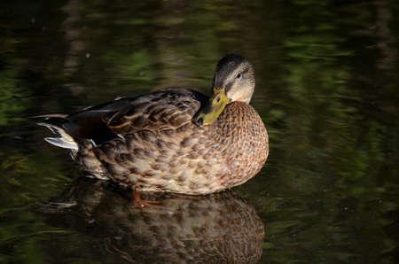 mallard duck in pond close up photo
