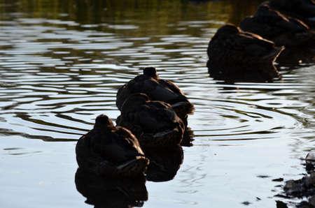 speculum: mallard duck