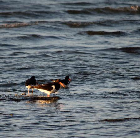 oystercatcher bird flock wading in ocean on sunny day photo