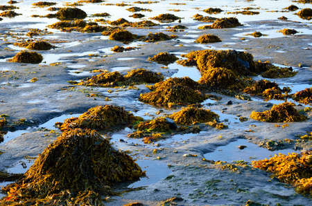 sea weed: vibrant piles of brown yellow sea weed at low tide