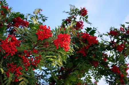 red ripe rowan berries on rowan tree on sunny autumn day photo